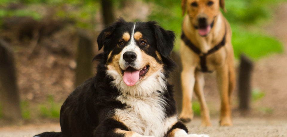 Purebred vs. Mixed-Breed Dogs: what is the difference?