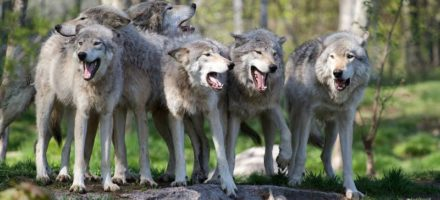 New FDP study about wolves