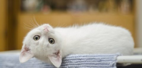 Are they social are not? Companion cats follow human gazing