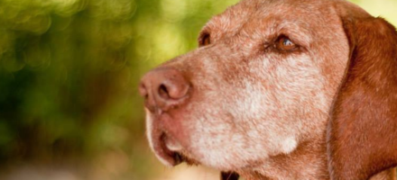 Selective hearing: Old dogs only listen to what they want to hear