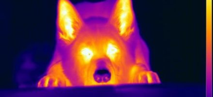 Infrared sensing in dogs' nose