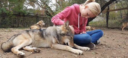 Wolves attached – Adult wolves miss their human handler in separation similar to dogs