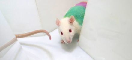 Searching together: A lesson from rats